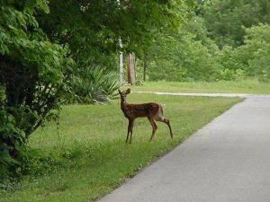 Greenhills Estates Montecello Front Yard with Deer grazing
